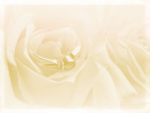 Wedding background. With white roses and ring stock photography