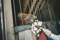 Wedding bouquet of different flowers and green leaves in the hand of the groom and the muzzle of the horse stretches royalty free stock photo