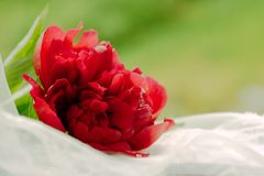 Wedding concept: red peony flower on a white tulle. Wedding concept: fresh red peony flower on a white tulle Royalty Free Stock Image