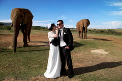 Wedding Couple and African elephant shoot. Photo of a wedding couple sharing a secret in front two elephants on their wedding day. Movement of both elephants are Stock Photos