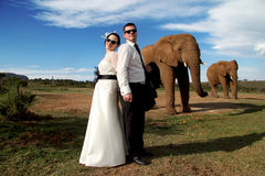 Wedding Couple and African elephant shoot. Wedding couple posing with two elephants on their wedding day Royalty Free Stock Photos