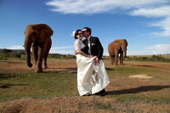 Wedding Couple and African elephant shoot. Wedding couple posing with two elephants on their wedding day. Groom kissing the bride Royalty Free Stock Photos