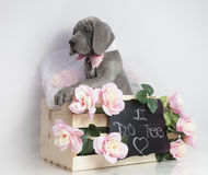 Wedding day Great Dane puppy Stock Photos