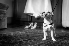 Wedding dog in bow tie Royalty Free Stock Photos