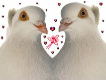 Wedding dove Stock Image