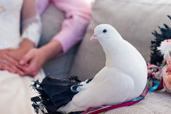 The wedding dove sits on the bed. Wedding dove sitting on the couch Stock Images