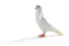 Wedding dove Stock Photography