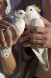 Wedding doves. Wedding pigeons in hands of the bride and groom Royalty Free Stock Images