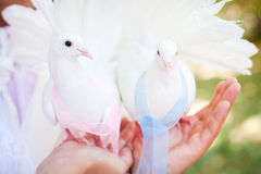 Wedding doves. White wedding doves in arms Royalty Free Stock Photos