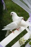 Wedding doves. Two white wedding doves on a white bench in a wedding ceremony Royalty Free Stock Image