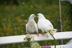 Wedding doves Stock Images
