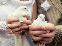 Wedding doves close-up in the hands of the bride and groom Stock Photos