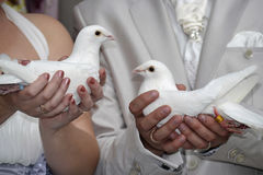 Wedding doves. Wedding pigeons in hands of the newlyweds Stock Image