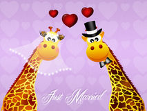 Wedding of giraffe Royalty Free Stock Photography