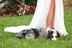 Wedding Partner. A dog lies next to a bride on her wedding day Stock Image