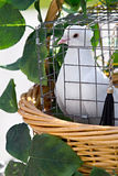 Wedding pigeon in  cage Stock Photography