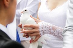 Wedding pigeon in the hands stock photography