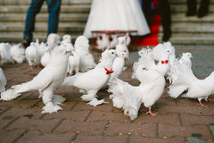 Wedding pigeons Stock Image