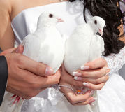 Wedding pigeons in hands Stock Photos