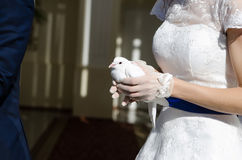 Wedding pigeons in hands. Close-up photo of wedding pigeons in hands of the bride Royalty Free Stock Photos