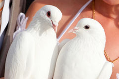 Wedding pigeons in hands of the groom and the brid Stock Photo