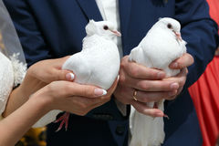 Wedding pigeons in hands of  groom and the bride Royalty Free Stock Photo
