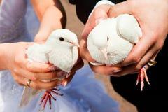 Wedding pigeons Stock Image