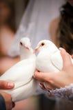 Wedding pigeons in hands Stock Photos