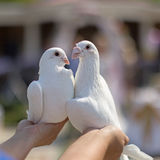 Wedding pigeons in hands Royalty Free Stock Images
