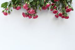 Wedding pink roses blosson white background royalty free stock photos