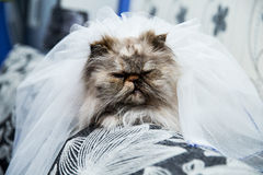 Wedding portrait a cat on the couch Stock Photography