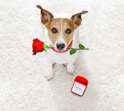 Wedding proposal dog with marraige ring royalty free stock images
