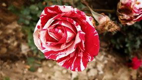 Wedding Red rose with white shadows flower plant for decoration royalty free stock photo