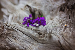 Wedding ring set on gnarled tree stump with purple flowers Royalty Free Stock Image