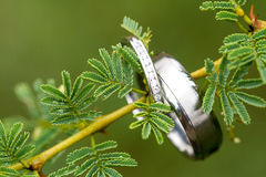 Wedding rings. A pair of silver wedding rings hanging on an acacia tree branch Royalty Free Stock Photos
