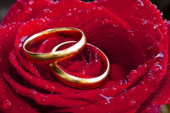Wedding rings. With a background rose Stock Image