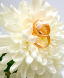 Wedding rings. Two wedding rings on a white chrysanthemum. A wedding background Stock Photos