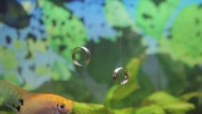 Wedding Rings in the Aquarium stock video