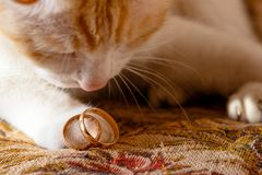 Wedding rings on the cat`s foot stock photos
