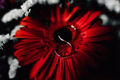 Wedding rings on a flower. Wedding rings on a red flower Royalty Free Stock Images