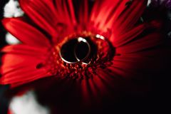 Wedding rings on a flower. Wedding rings on a red flower Royalty Free Stock Photography