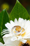 Wedding Rings with flowers. Wedding Rings detail with white flowers Stock Photo