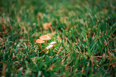Wedding rings in the grass next to the mushrooms. Wedding rings lying on the grass next to the mushrooms growing out of grass Stock Images