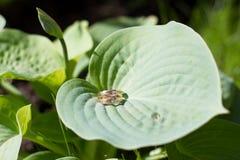 Wedding rings on grass plantain leaf Stock Photos