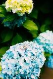 Wedding rings on the hydrangeas Royalty Free Stock Photography