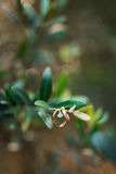 Wedding rings on the olive branch Stock Photos