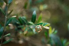 Wedding rings on the olive branch Royalty Free Stock Photography