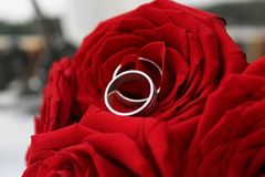 Wedding Rings in Rad Rose. Silver wedding rings on a gorgeous bouquet of roses. Wedding rings with beautiful rose flower. Close-up view royalty free stock photo