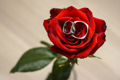Wedding rings in a red rose Royalty Free Stock Photography