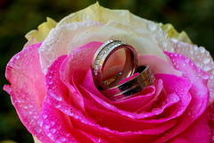 wedding rings rose taken closeup with water drops Royalty Free Stock Photo